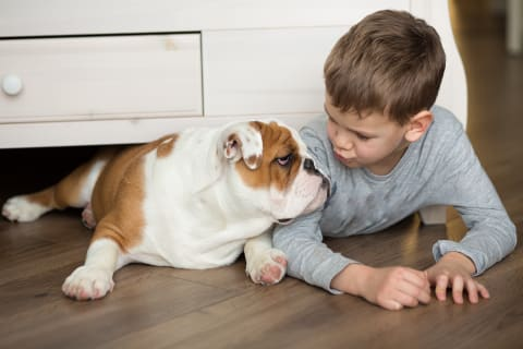 Best dogs for kids, English Bulldog